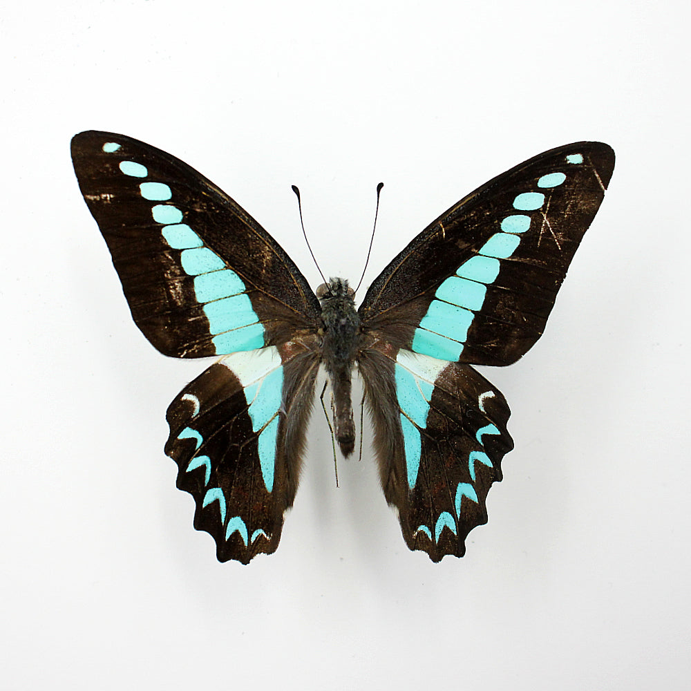 Butterfly | Graphium milon anthedon | Unmounted