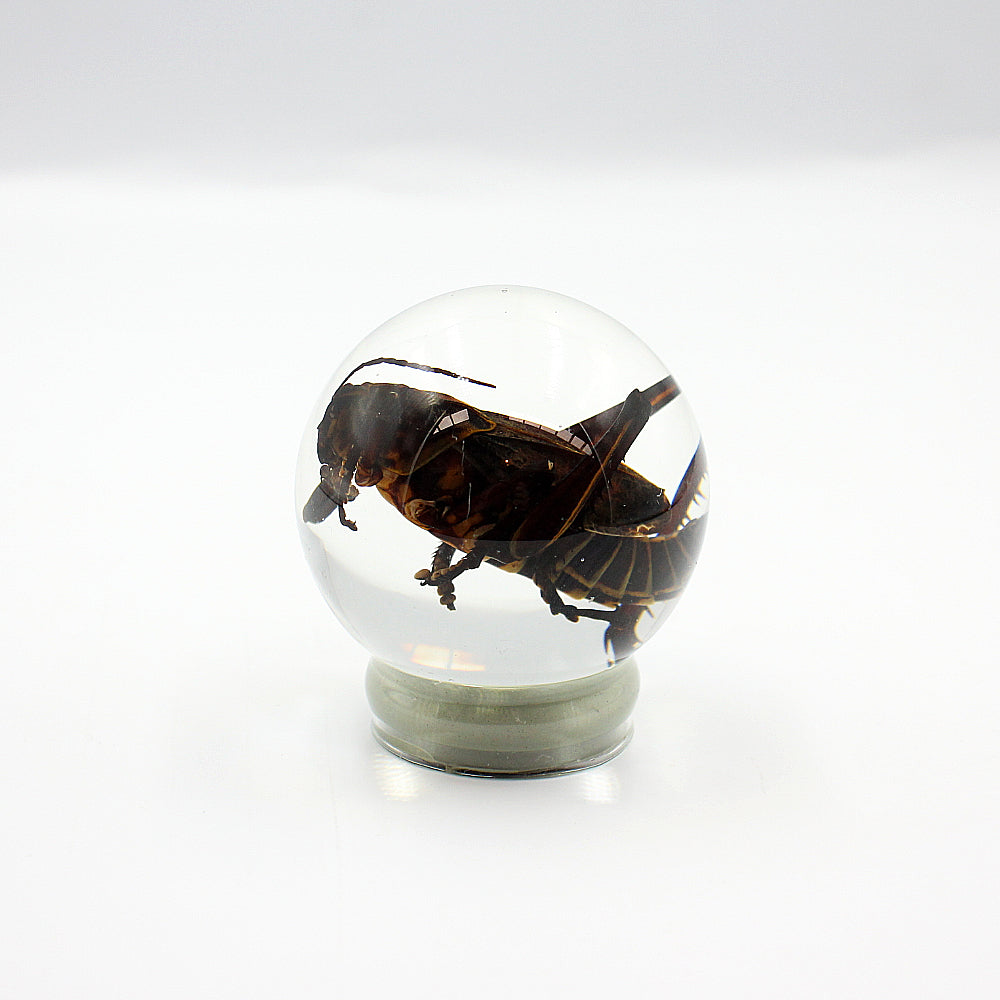 Wet Specimen | Grasshopper in Globe