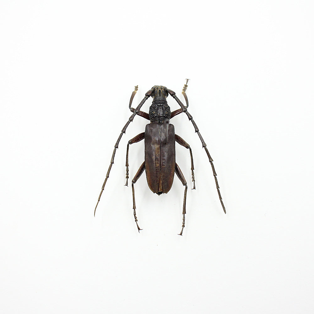 Beetle | Hoplocerambyx spinicornis | Unmounted