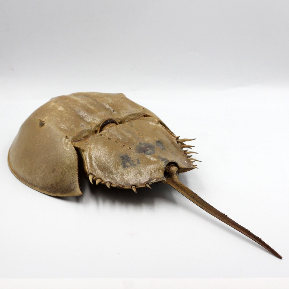 Horseshoe Crab | Wall Hanger | Medium