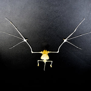 Articulated Skeleton | Bat | Tylonycteris robustula