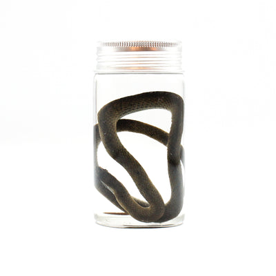 Wet Specimen | Eastern Brown Snake
