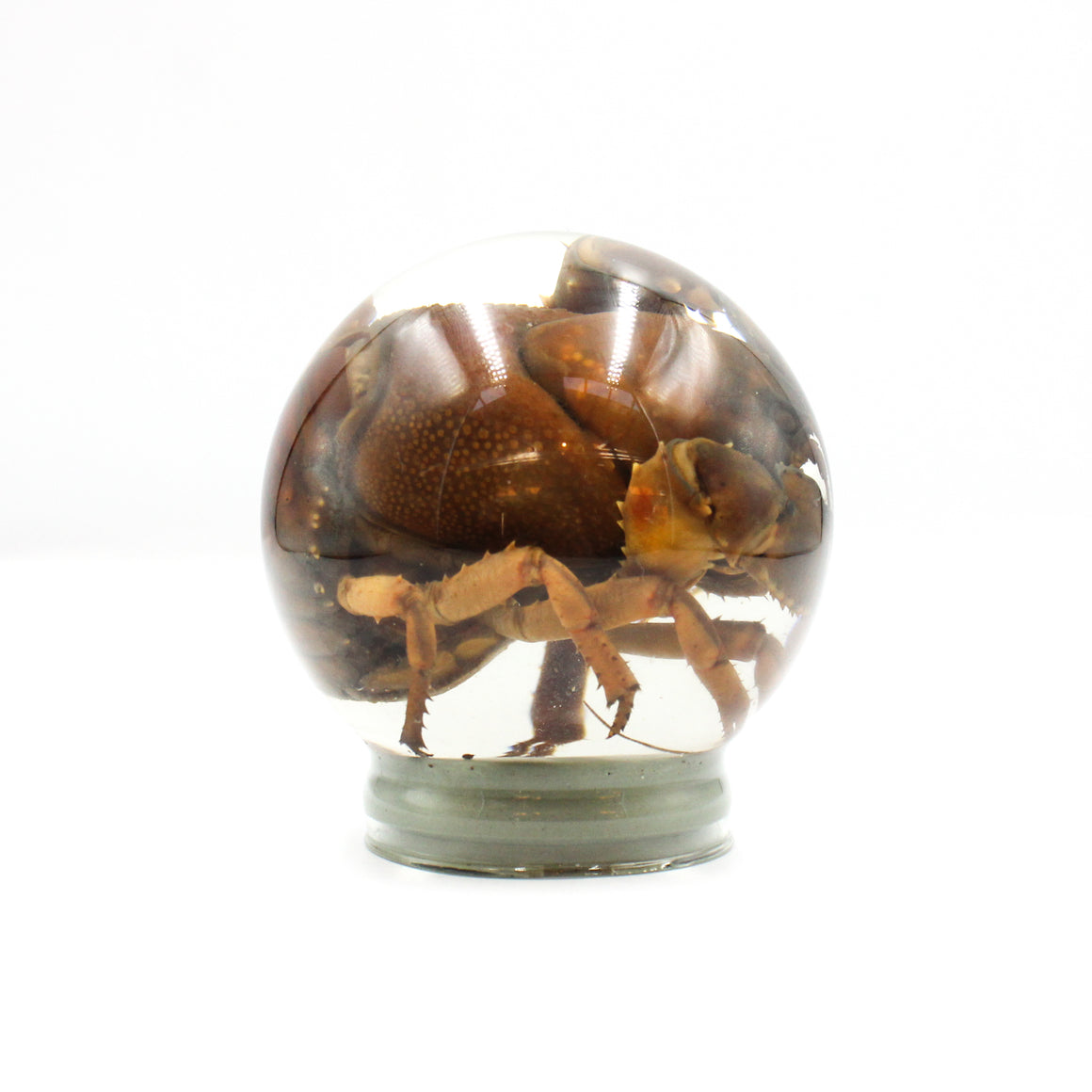 Wet Specimen | Crayfish | Globe