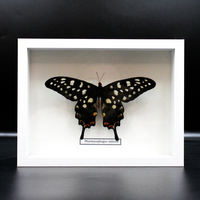 Butterfly | Pharmacophagus antenor | Mounted