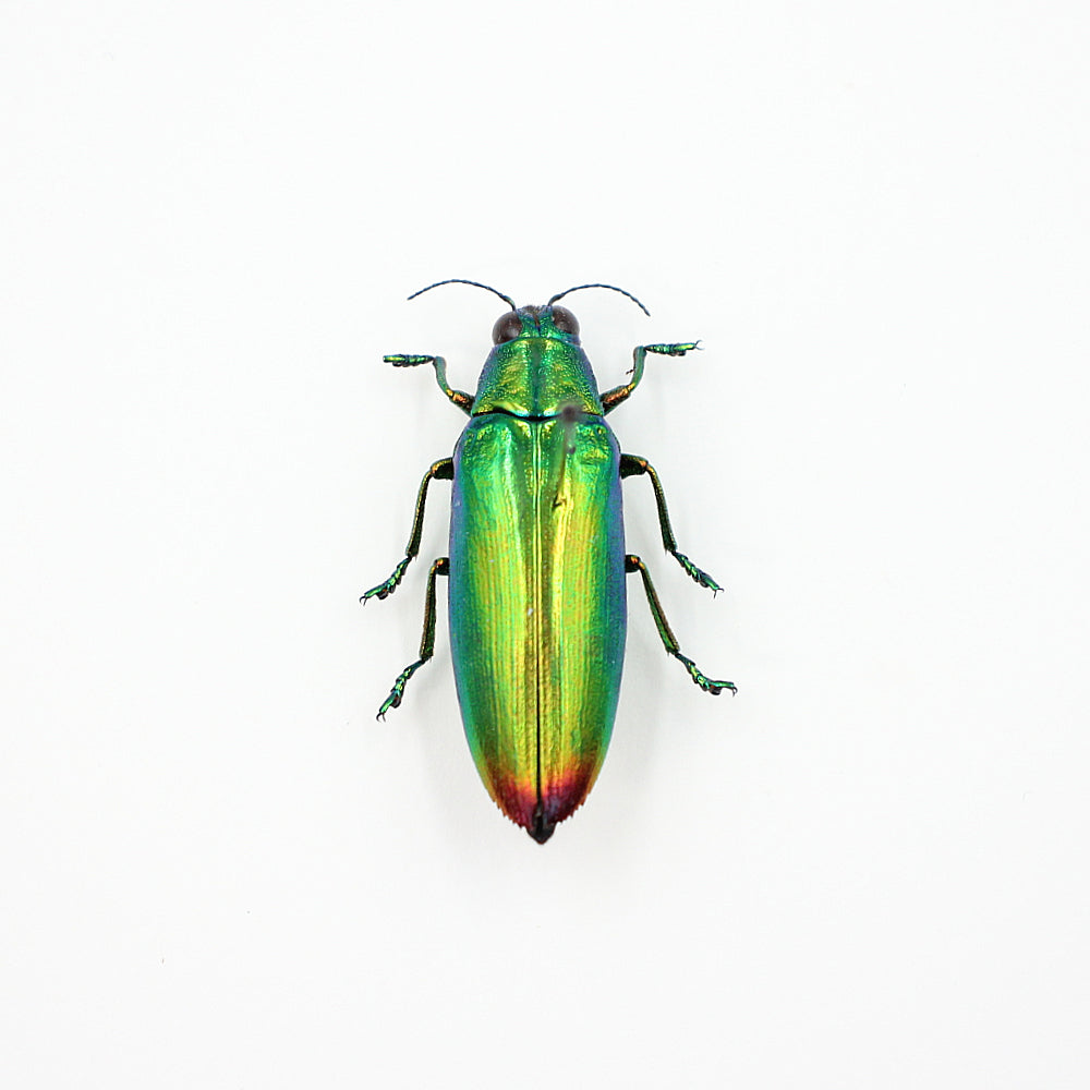 Beetle | Chrysochroa fulminans | Unmounted