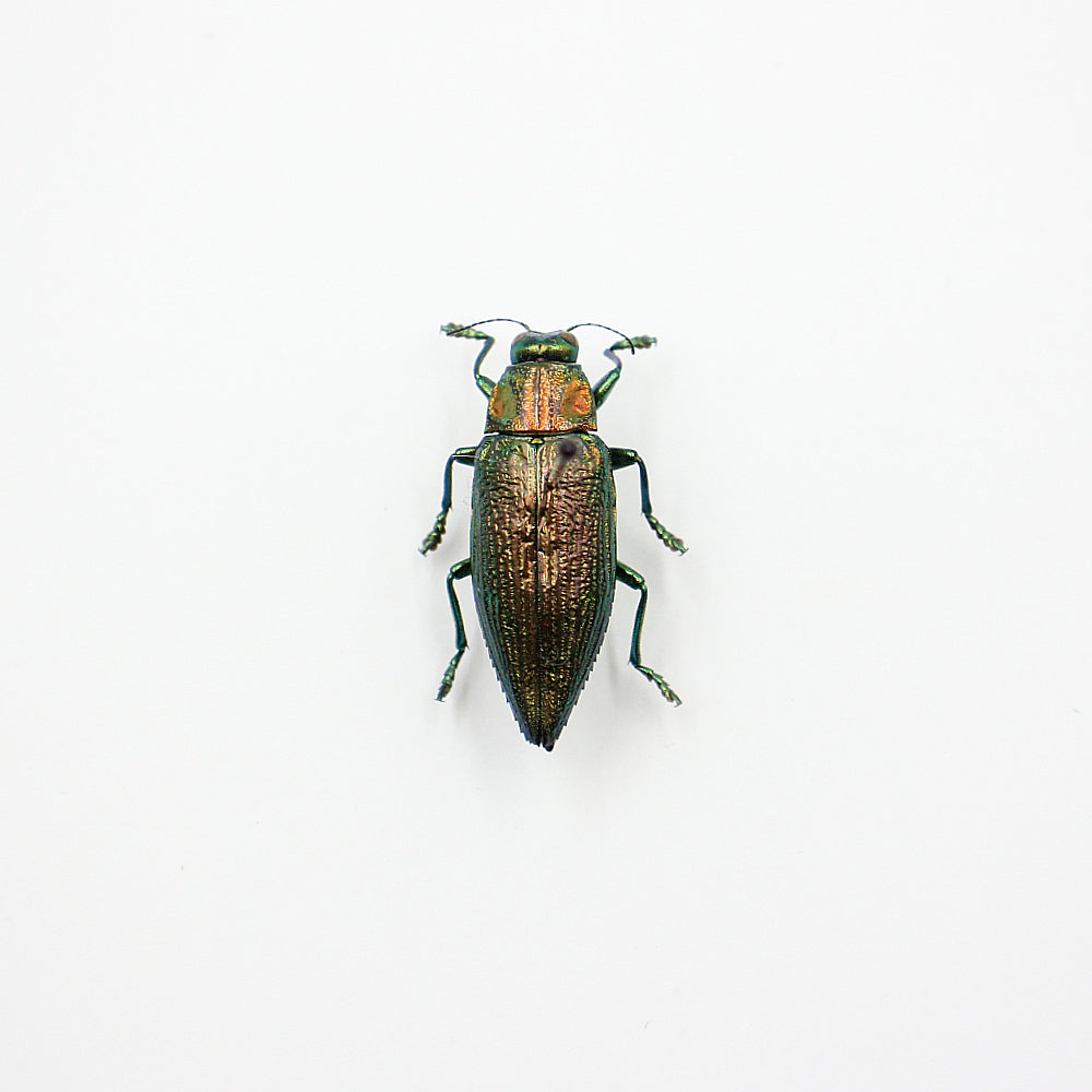 Beetle | Chrysodema radians | Unmounted