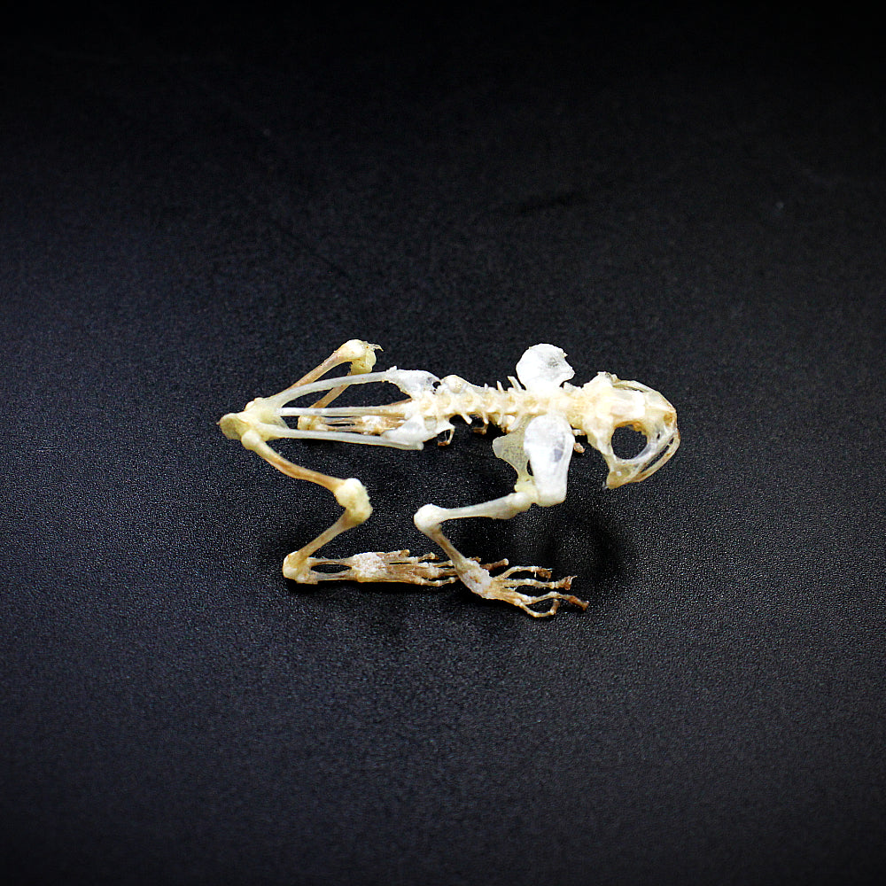 Articulated Skeleton | Toad | Kaloula baleata