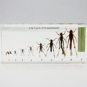 Resin | Life Cycle of Insects | Set of 12
