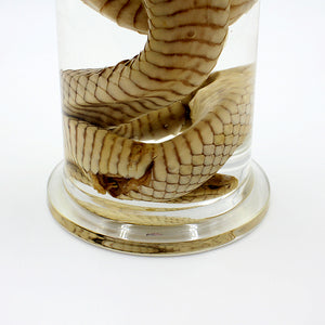 Wet Specimen | Eastern Brown Snake | Jar