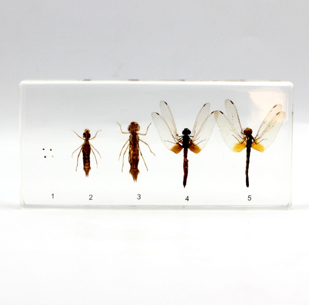 Resin | Life Cycle | Dragonfly