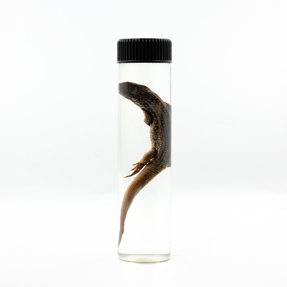 Wet Specimen | Skink | Large
