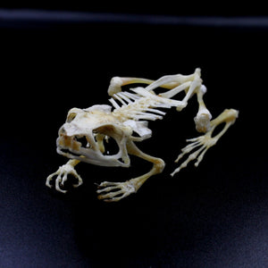 Articulated Skeleton | Fanged River Frog | Limnonectes macrodon