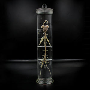Scientific Specimen | Rabbit | Nervous System