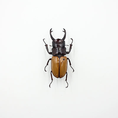 Beetle | Odontolabis sarasinorum | Unmounted