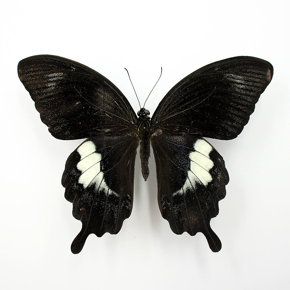 Butterfly | Papilio fuscus fuscus | Unmounted