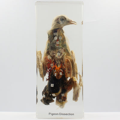 Resin | Pigeon Dissection