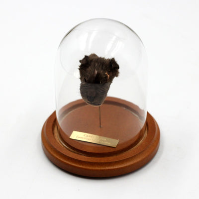 Shrunken Head | Puppy | Labrador X