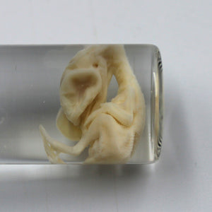 Wet Specimen | Quail | Embryo