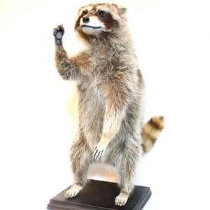 Taxidermy | Racoon