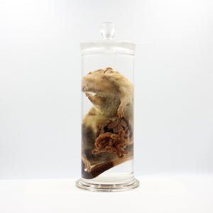 Scientific Specimen | Rat | Gastrointestinal Dissection