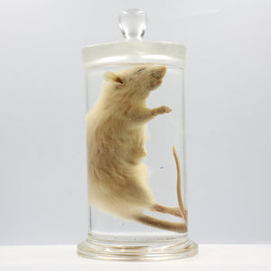 Scientific Specimen | Rat 2 | Dissection