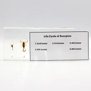 Resin | Life Cycle | Scorpion