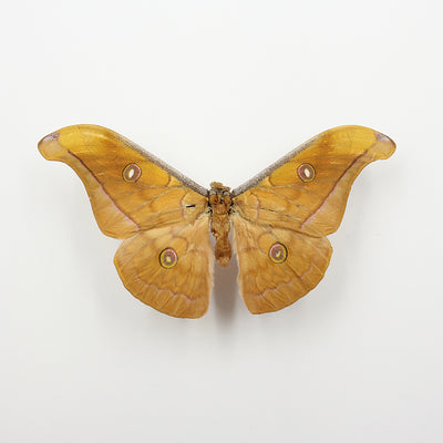 Moth | Antheraea jana (M) | Unmounted