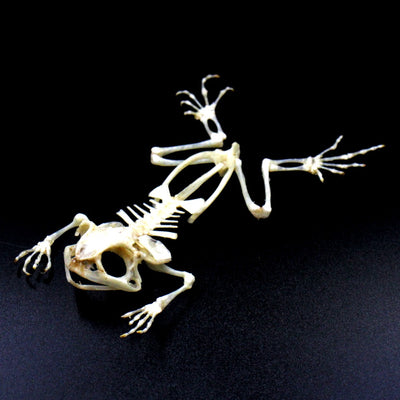 Articulated Skeleton | Splayed Frog | Duttaphrynus melanostictus