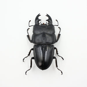 Beetle | Dorcus alcides | Unmounted