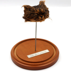 Shrunken Head | Cat | Dark Tabby
