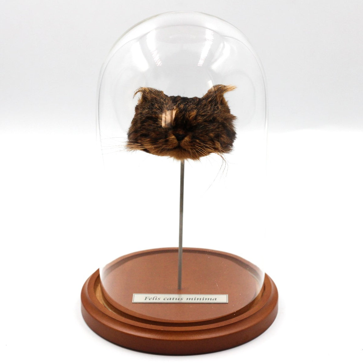 Shrunken Head | Cat | Tabby