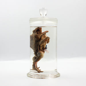 Scientific Specimen | Toad Dissection