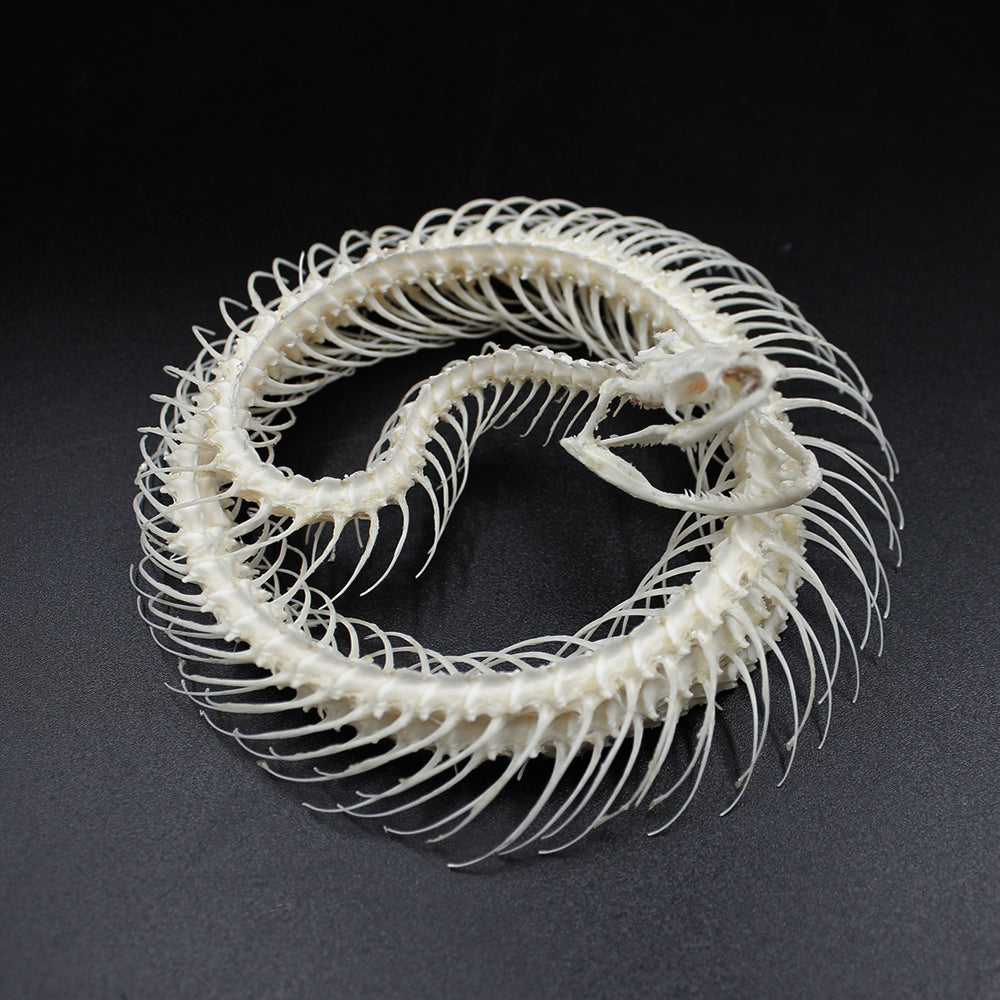 Articulated Skeleton | Snake | Xenochrophis melanzostus | Coiled