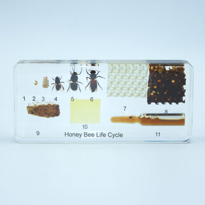Resin | Life Cycle | Honeybee