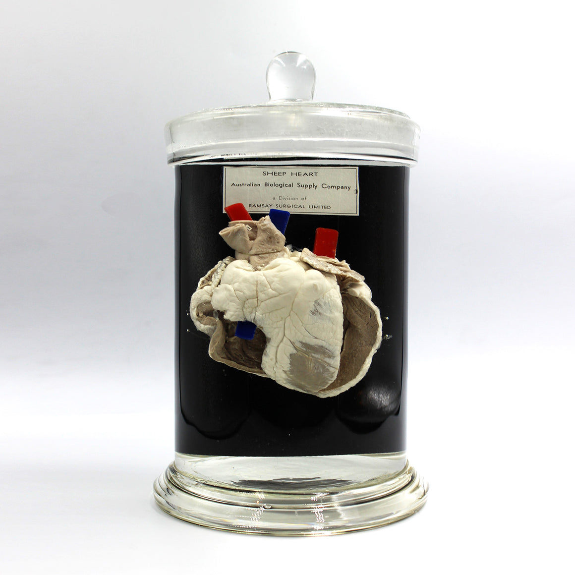 Scientific Specimen | Sheep Heart