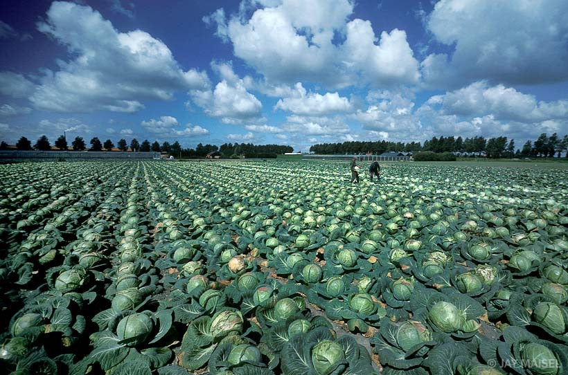 Cabbage Field in Holland