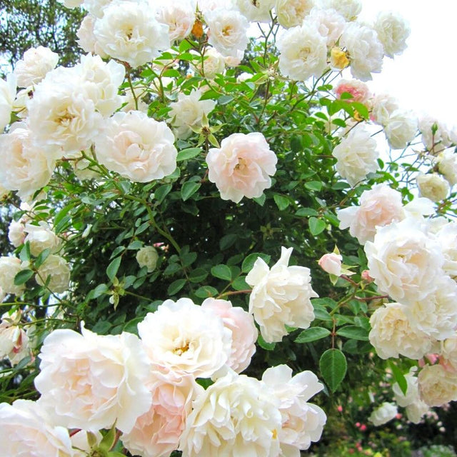 Roses naturelles blanches - rose eternelle