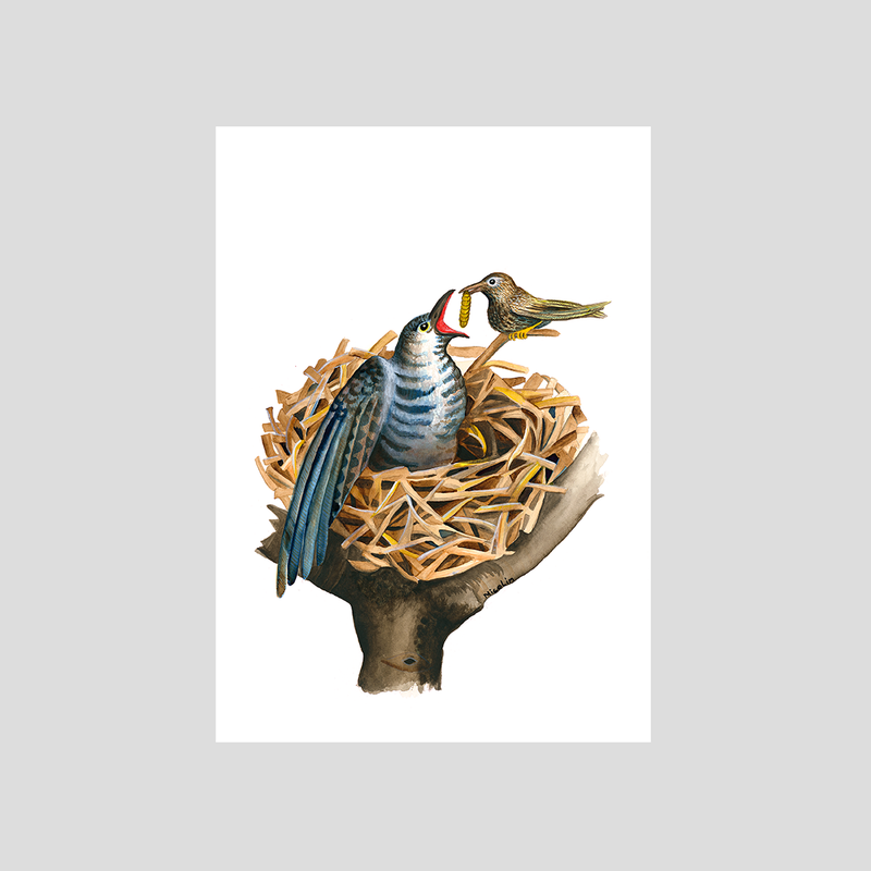 Cuckoo chick fed in the nest art print by Charlotte Nicolin