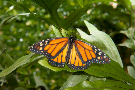 Teach Your Children About Monarch Butterflies