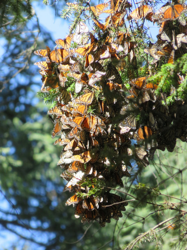 Where Do the Monarchs Go in the Fall?