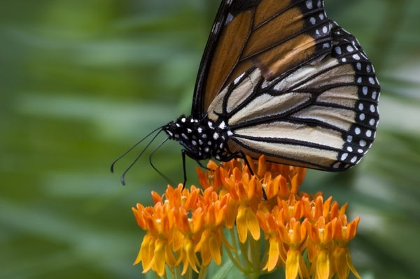 Fun Facts about Milkweed