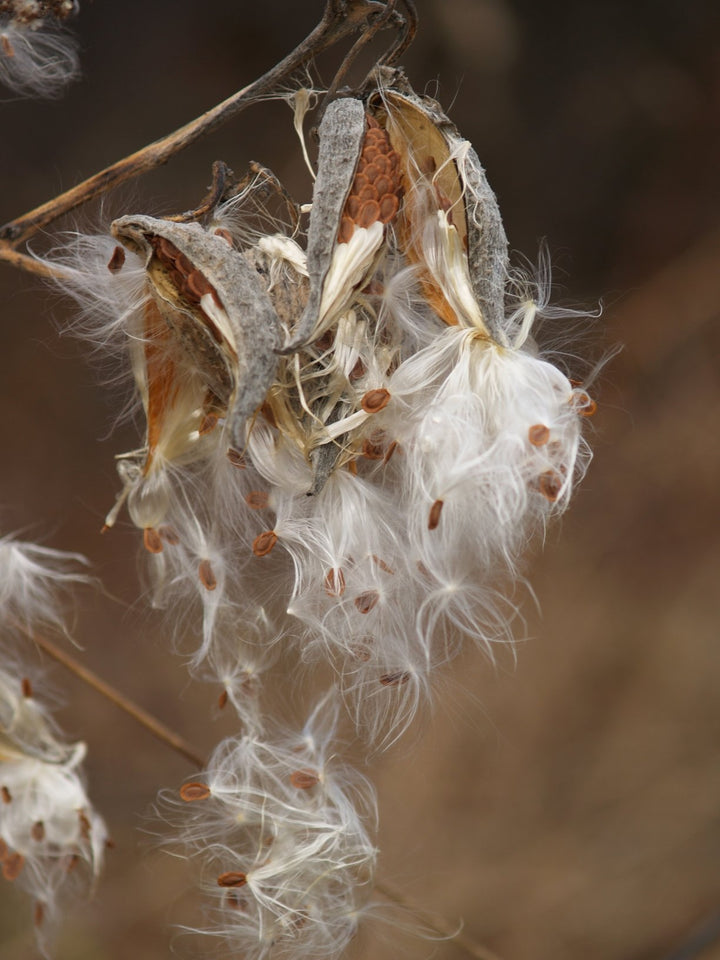 Milkweed Seed for Monarch Habitat