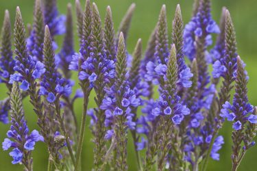 Vervain, The Healing Herb