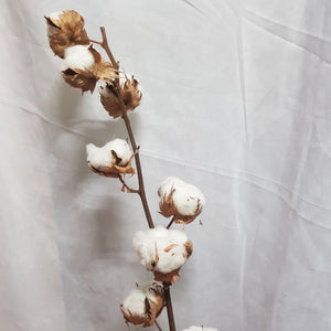 Dried Cotton