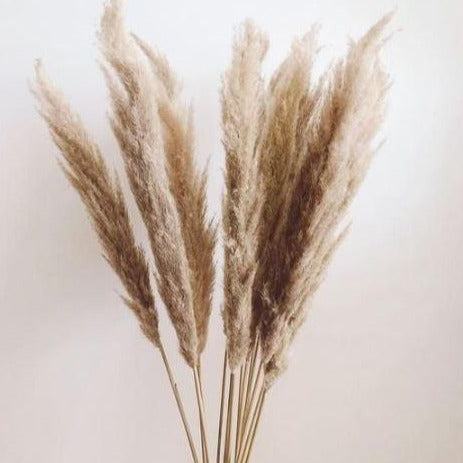 Holland Pampas Grass