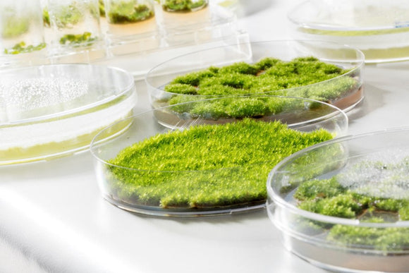 Mosses growing on agar