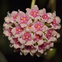 Hoya Aldrichii House Plant - The Christmas Island Wax Vine