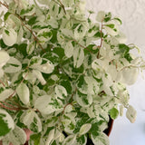 HARD TO FIND Hawaiian Snow Bush Houseplant - Breynia nivosa House Plant