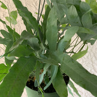 Blue Star Fern House Plant - Phlebodium Aureum Houseplant
