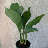 Chinese Evergreen 'Silver Bay' Houseplant - Aglaonema House Plant - Live Rooted Plant